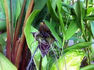 Bat flower in the garden